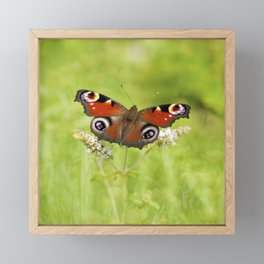 The European peacock butterfly Framed Mini Art Print