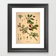 Botanical Print: Cherry Blossom / Prunus serrulata Framed Art Print