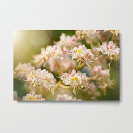 Aesculus chestnut tree blossoms Metal Print