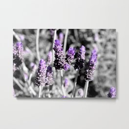 Lavender with selective colour Metal Print