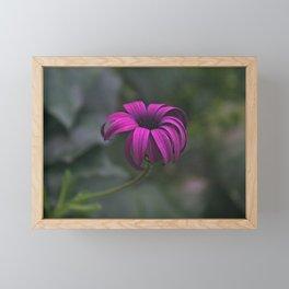 Has been a long day (African Daisy Flower) Framed Mini Art Print
