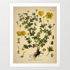 Botanical Print: Buttercup Art Print