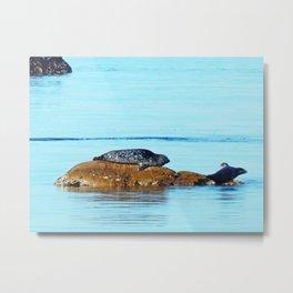 Seal pup waves to mom Metal Print