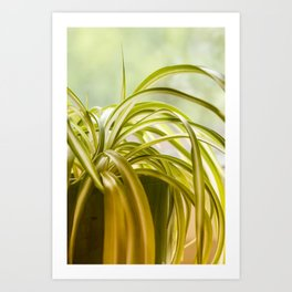 Chlorophytum, indoor potted plant, close up - image Art Print