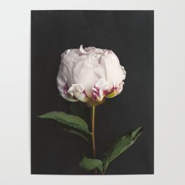 Peony - simply perfect Poster