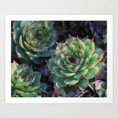 Sempervivum Succulents Art Print