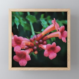 Coral Pink Trumpet Honeysuckle Framed Mini Art Print