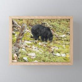 Busy Black Bear - Glacier NP Framed Mini Art Print