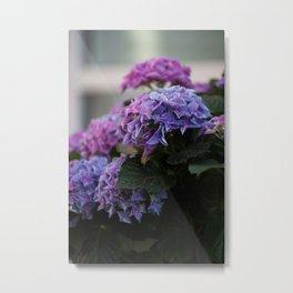 Big Hortensia flowers in front of a window Metal Print