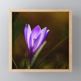 Bright Purple Spring Crocus Framed Mini Art Print