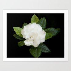 Gardenia in the garden - free shipping Art Print