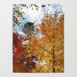 Sugar Maples in all their glory Poster