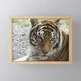 Nice Kitty - Tiger Framed Mini Art Print