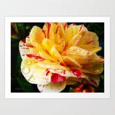 Candy Striped Rose Art Print