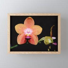 1st Magenta Peachy Phalaenopsis Orchid Framed Mini Art Print