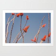 Ocotillo in Bloom Art Print