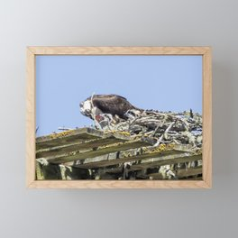 Feeding Time for Baby Ospreys Framed Mini Art Print