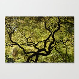 Japanese Maple Tree Canvas Print