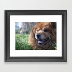 Yogi, the adorable Chow Chow Framed Art Print