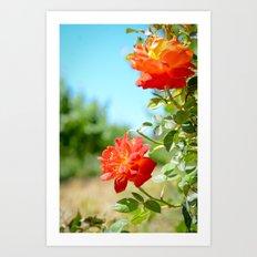 Roses in Santa Ynez California Vineyard Art Print