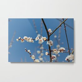 Plum Blossoms Japanese Ume Tree and Blue Sky in Early Spring Photography Metal Print
