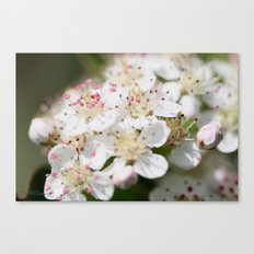 Aronia Blossoms Canvas Print
