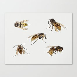 Studies of wasps by Julie de Graag (1877-1924) Canvas Print