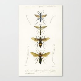 Different types of wasps illustrated by Charles Dessalines D' Orbigny (1806-1876) Canvas Print