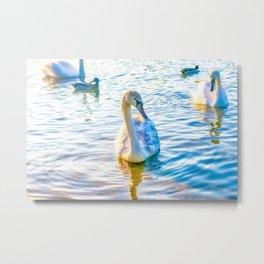 Young Cygnet Swan Metal Print
