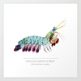 Peacock Mantis Shrimp Art Print