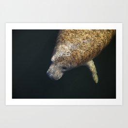 Manatee swimming in Miami Art Print