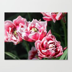 Double Late Peony-Flowered Tulip named Horizon Canvas Print