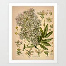 Botanical Print: Hydrangea Art Print