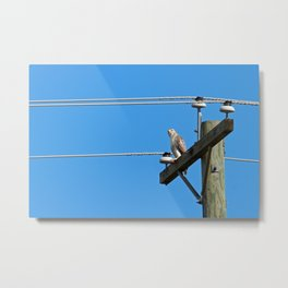 Red Tailed Hawk on Telephone Pole 2 Metal Print