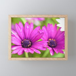 Morning Dew on Purple Daisies by Reay of Light Photography Framed Mini Art Print