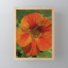 Glorious Nasturtium Framed Mini Art Print