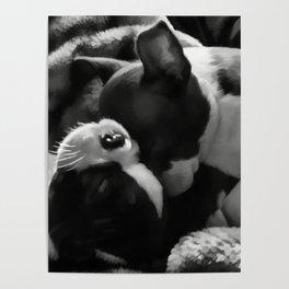 Sleeping Beauties - Boston Terrier Poster