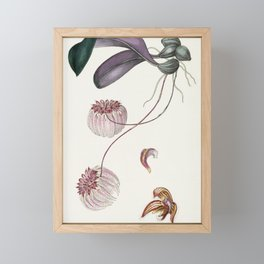 Bulbophyllum Auratum Orchid Framed Mini Art Print