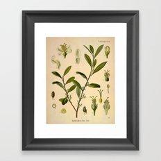 Botanical Print: Coca Plant Framed Art Print