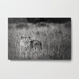 Lion in the African Serengeti black and white photographic Metal Print