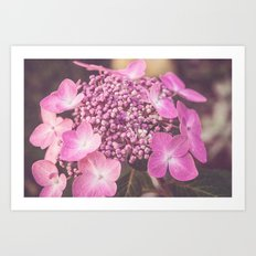 Botanical Pink Rose Purple Lace Cap Hydrangea Flower Art Print