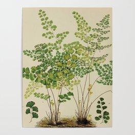 Maidenhair Ferns Poster