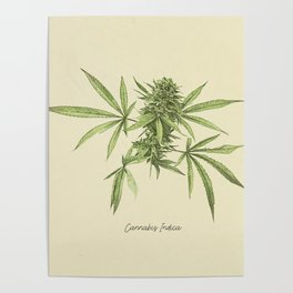 Vintage botanical print - Cannabis Poster