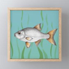 Common roach fish Framed Mini Art Print