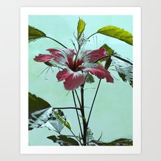 Hibiscus Storckii Art Print