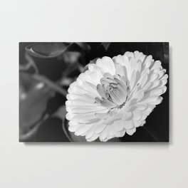 White blossoming chrysanth, black and white flower photography Metal Print