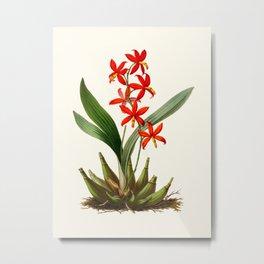 Epidendrum Selenium Vintage Scientific Botanical Flower Illustration Hand Drawn Art Metal Print