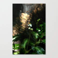 White Flower- Begonia Thelmae Canvas Print