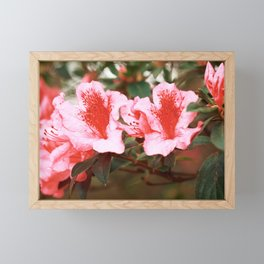 Azaleas blooming Framed Mini Art Print