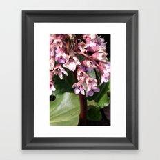 Bergenia Framed Art Print